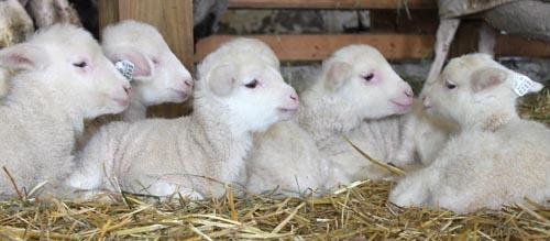 Lamb pile II