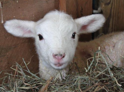 Cuddly cormo lamb