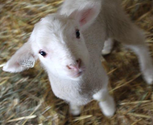 Georgia, cormo lamb