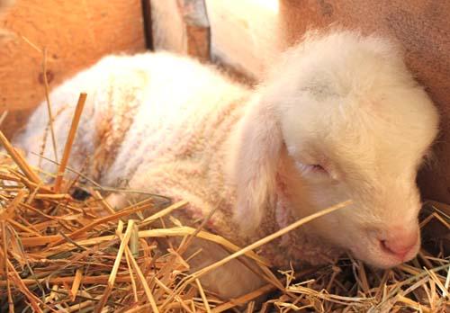 Cormo lamb thalia