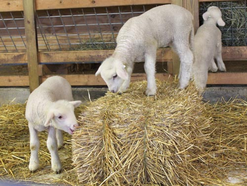 Two lambs straw bale III