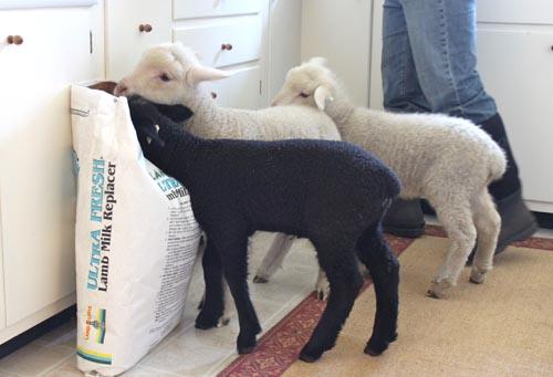 Kitchen lambs IV