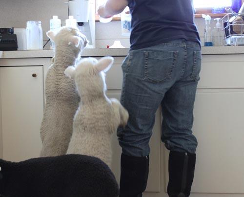 Kitchen lambs I