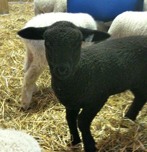 Bottle lamb mistral
