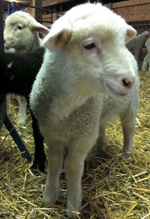 Bottle lamb georgia