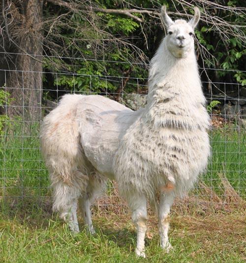 Guard llama caitlyn I