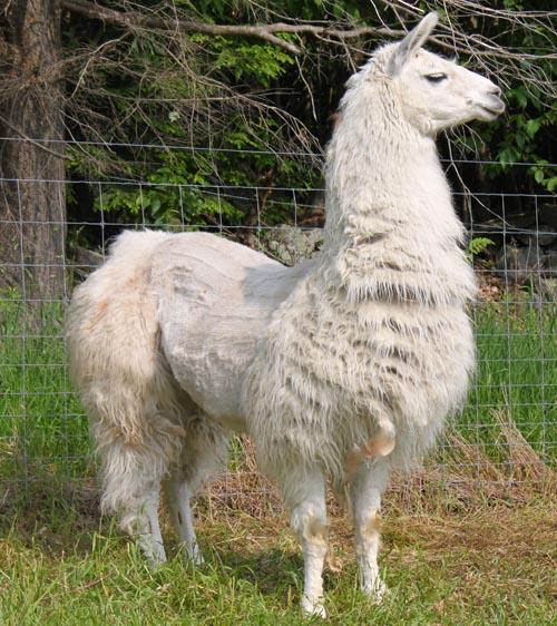 Guard llama caitlyn III