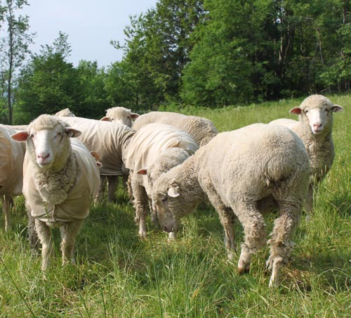 Cormo yearling sheep upper pasture