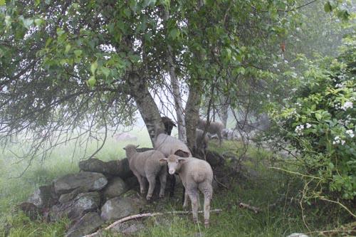 Lambs on stone wall