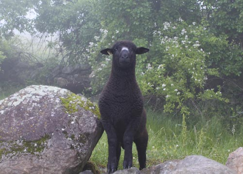 Black ram lamb on rock