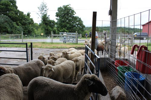 Lambs in new digs