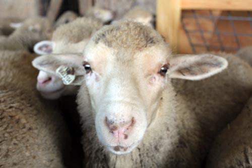 Lambs up close II