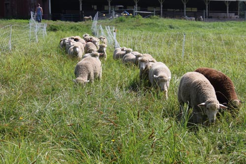 Lambs head out to pasture ix