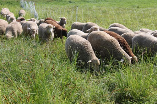 Lambs head out to pasture x