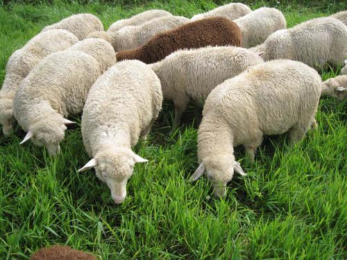 Lambs pasture