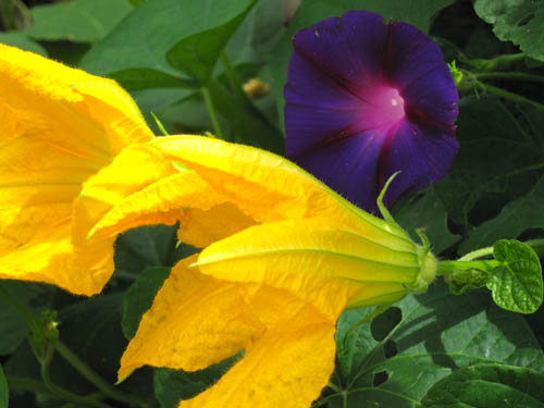 Squash blossoms, morning glory