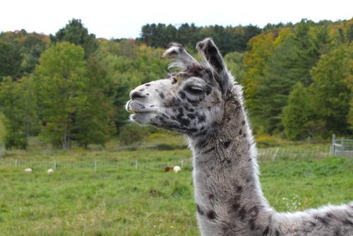 Cormo lambs september 3