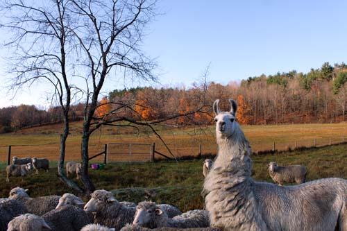 Llama flock fall