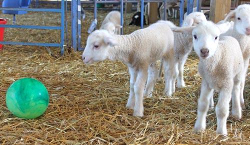 Lambs in creep