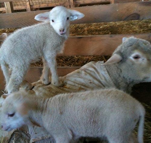 Tupelo with lambs