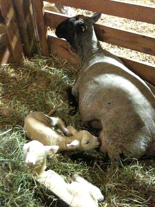 Star's lambs
