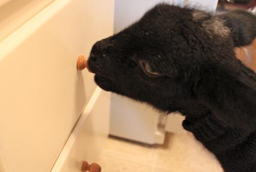 Black kitchen lamb