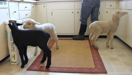 Kitchen lambs V
