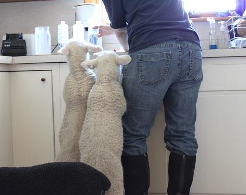 Kitchen lambs II