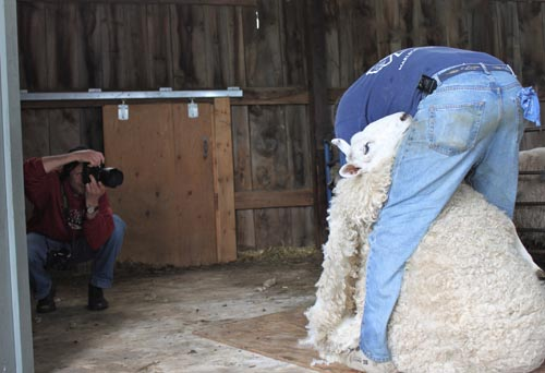 Shearing border leicester