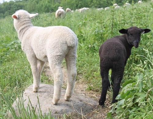 Two lambs, mistral