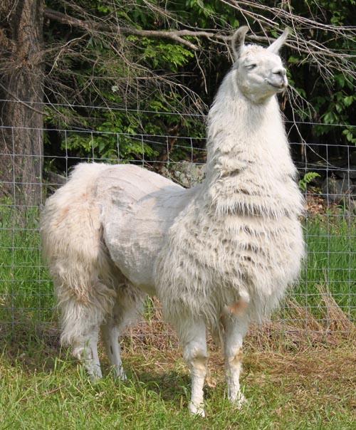 Guard llama catilyn II
