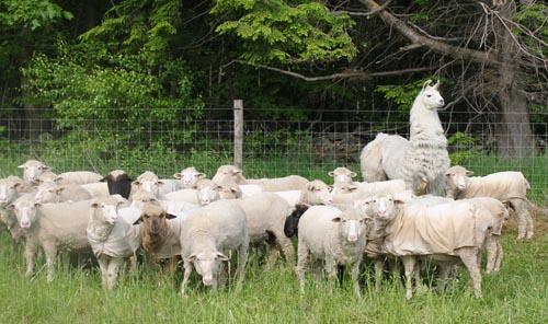 Cormo flock with llama