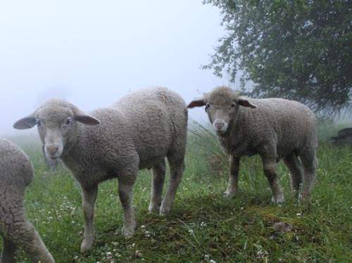 Lambs on foggy morning