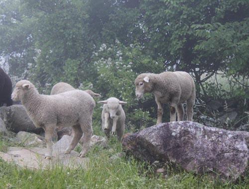 Lambs on rocks 1