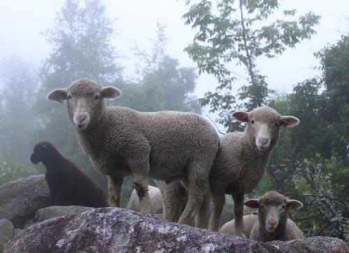 Lambs on rocks 2