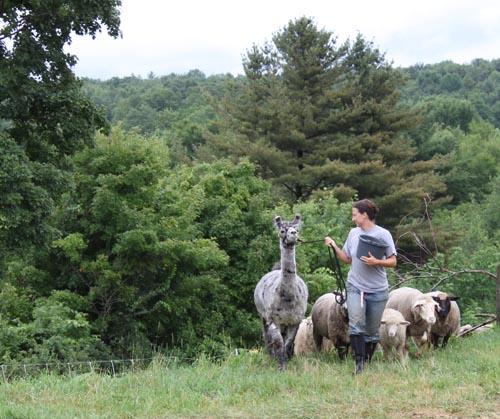 Llama & sheep