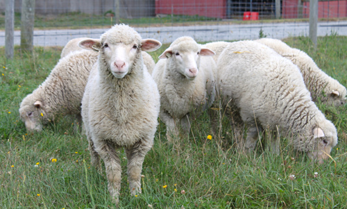 Cormo lambs september 1