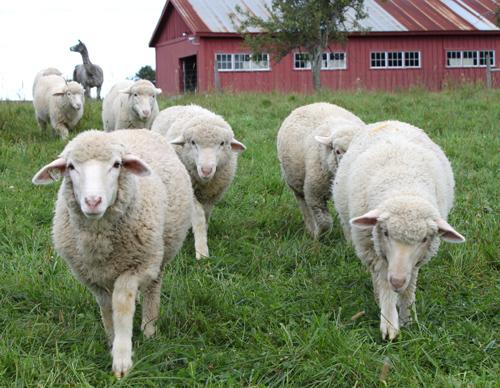 Cormo lambs september 2