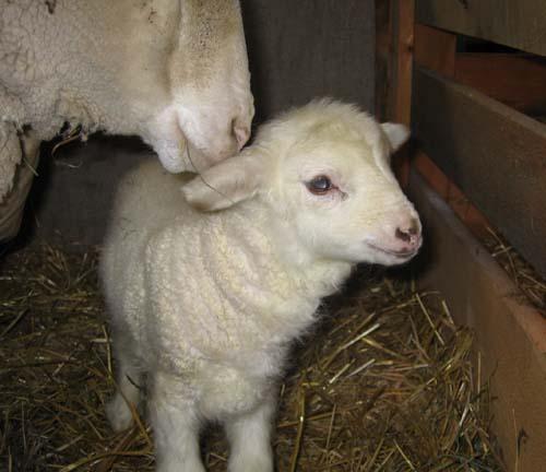 Newborn cormo lamb