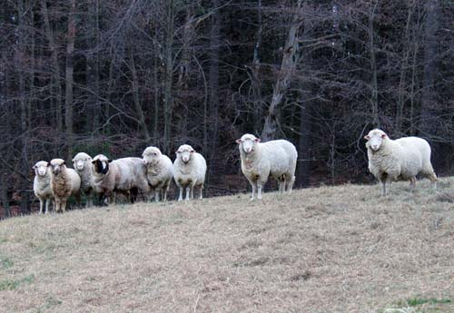 Thanksgiving sheep