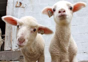 Sheep shares lambs