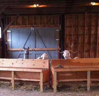 Llama, 2 goats, foxfire fiber