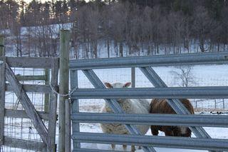 Sheep at gate