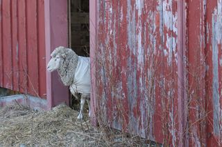 Sheep at barn door 2