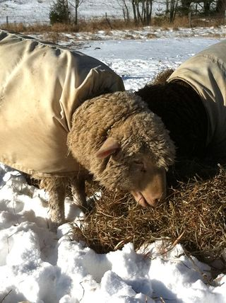 Sheep in winter. foxfire fiber 2