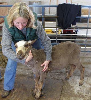 Foxfire fiber. moorit shearing. 2010
