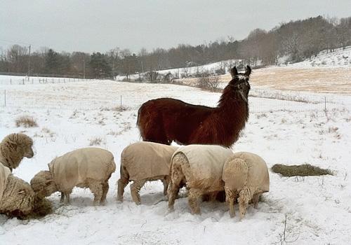 Snow llama. foxfire fiber