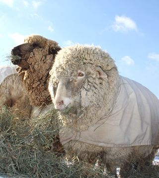 Two ewes. foxfire fiber