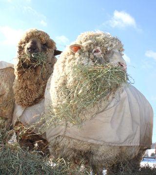 Two ewes. 3 foxfire fiber