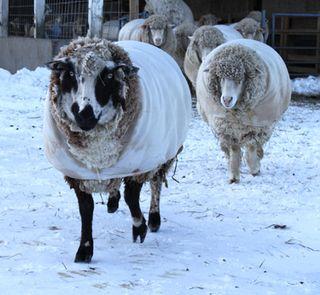 Sheep snow 1. foxfire fiber